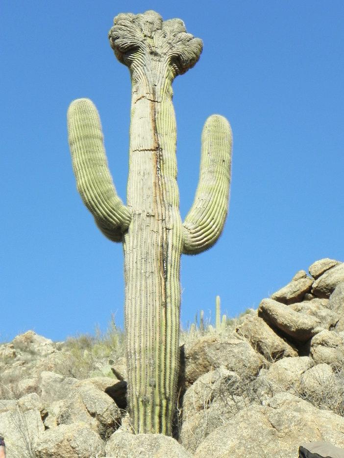 Crested Saguaro DoveMtn..jpg