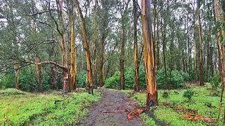 A wet, green eucalyptus forest with bark peeling off the trees, kind of like how we are constantly stripping away at old systems to make getting insurance easier.