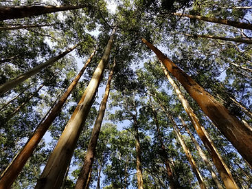 A canopy view of a eucalyptus forest, signifying looking towards the future.