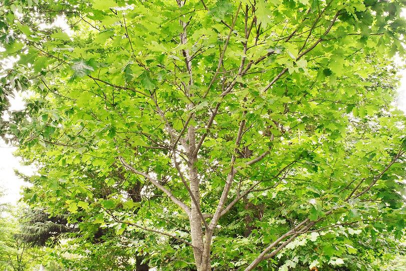 柏の木.jpg