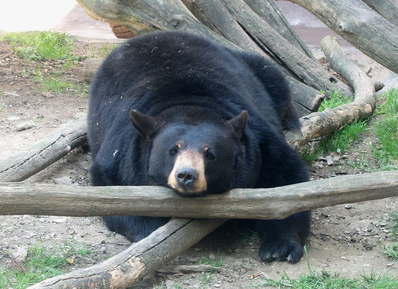 1280px-Ober-gatlinburg-black-bear-tn2.jpg