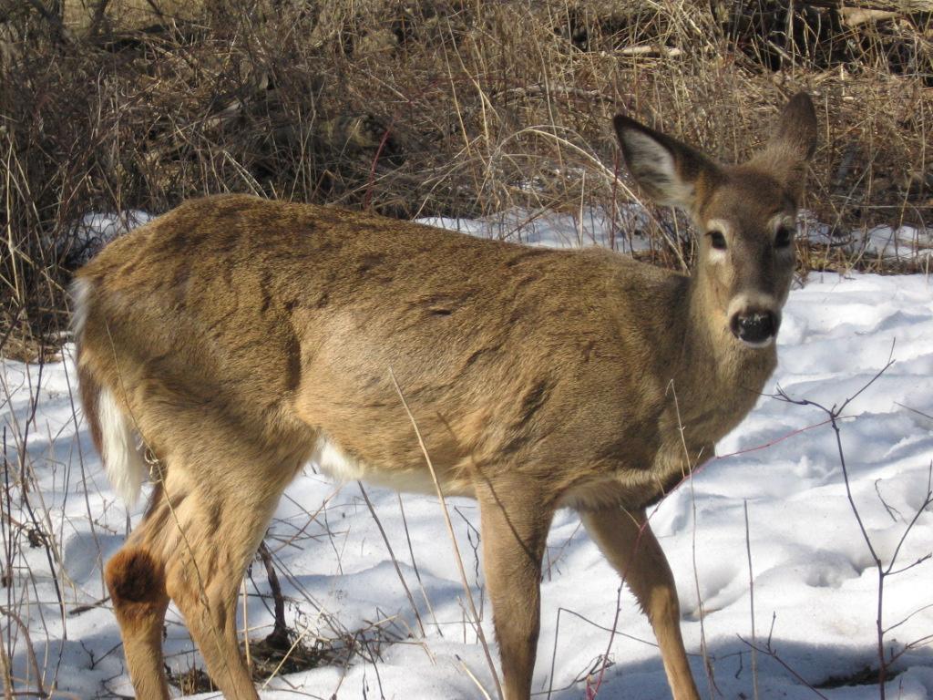 White-tail_deer.jpg