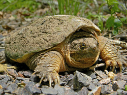 Common_Snapping_Turtle_Close_Up_BEST.jpg