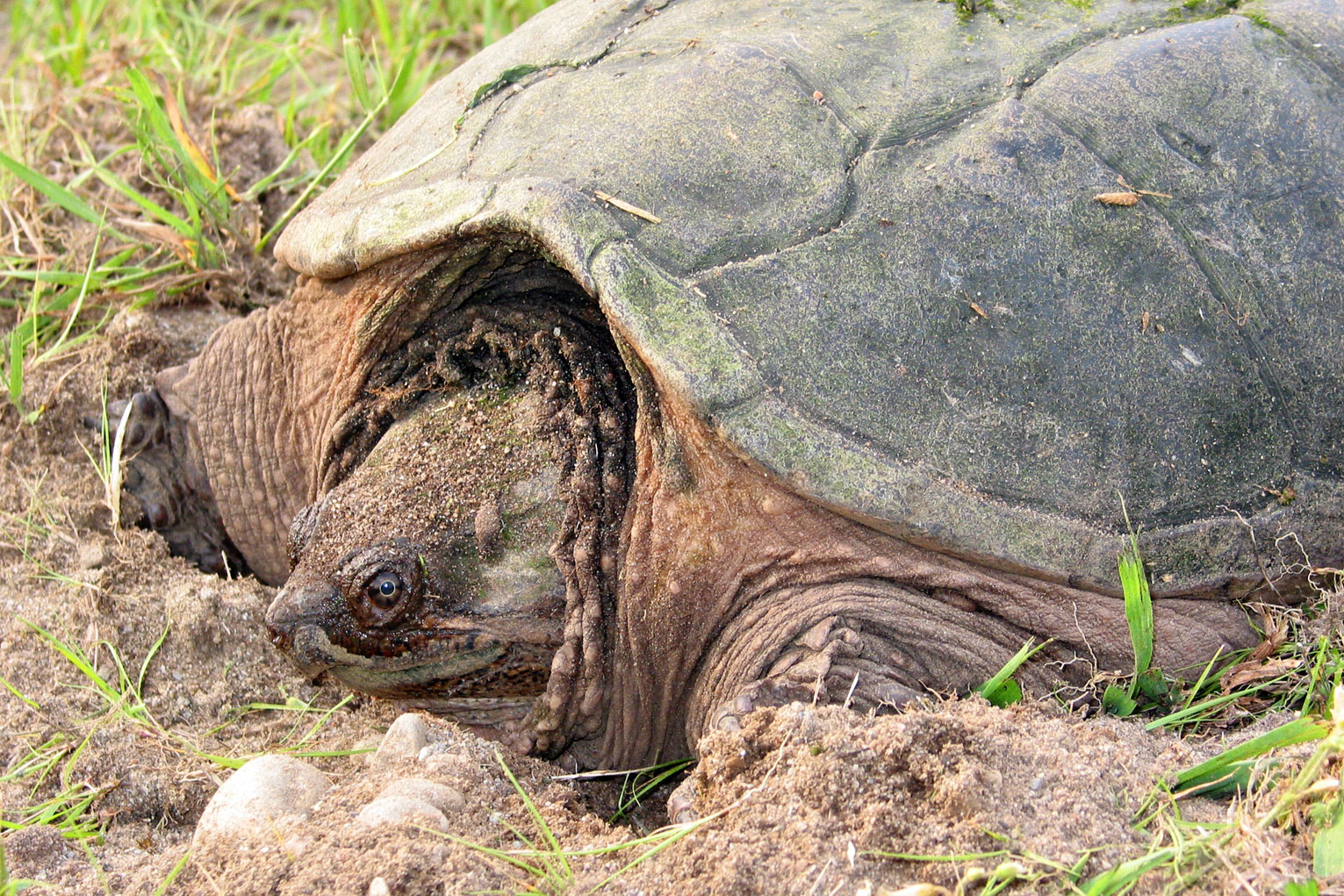 Snapping_turtle_2_md.jpg