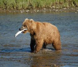 Bear_Alaska_(3).jpg