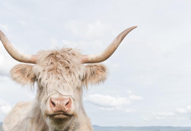 Cheeky Cow 4