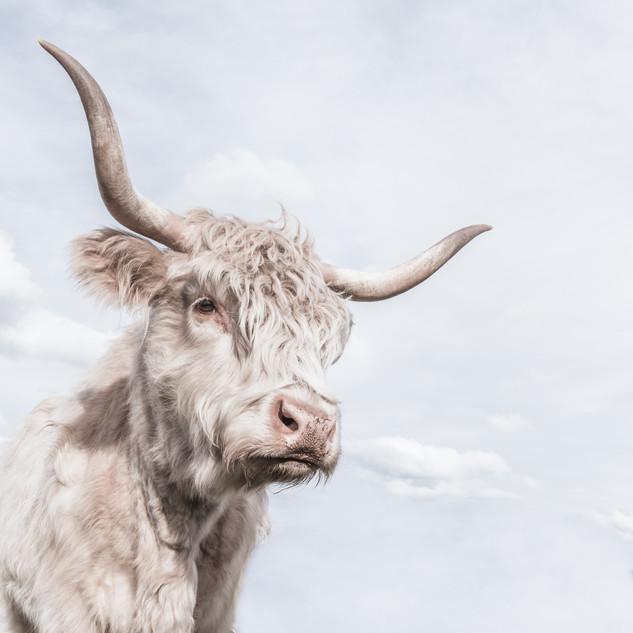 Cheeky Cow 6