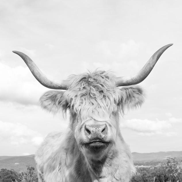 Cheeky Cow 3