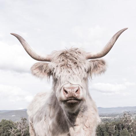 Cheeky Cow 5