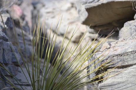 Yucca on splintered edge.JPG