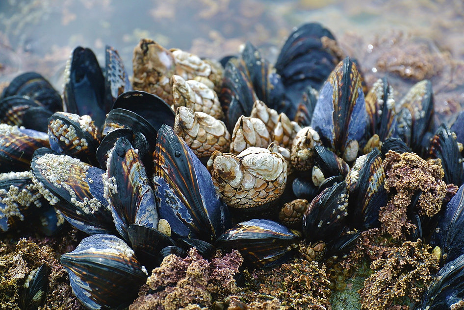 mussel-3593218_1920.jpg