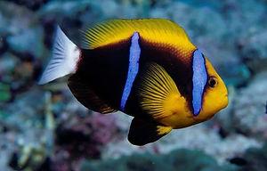 orange-fin_anemonefish_236-.7df05f0.widt