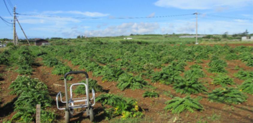 シマアザミ収穫の時期
