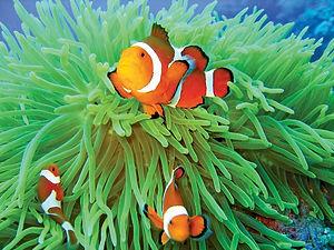 Anemone-fish-sea-anemone.jpg