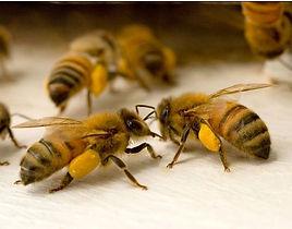 Pollen Basket 1.jpg