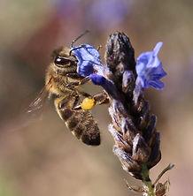 spanish-bee-apis-mellifera-iberiensis.jp