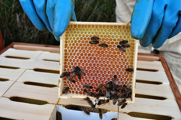 An example of comb in sections. This is from our bees on the North Yorkshire Moors. Some sections are circular.