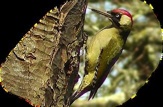 GreenWoodpecker2.png