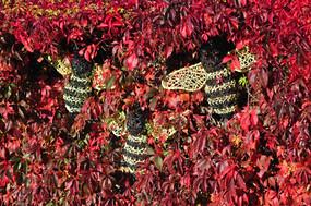 Bees in Virginia Creeper
