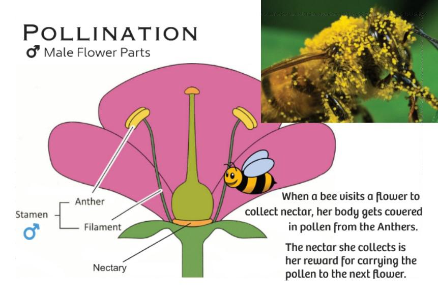 Flower Male