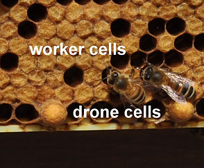 Worker-Cells-Drone-Cells.jpg