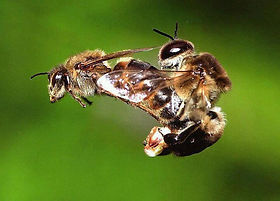 Queen Mating.jpg