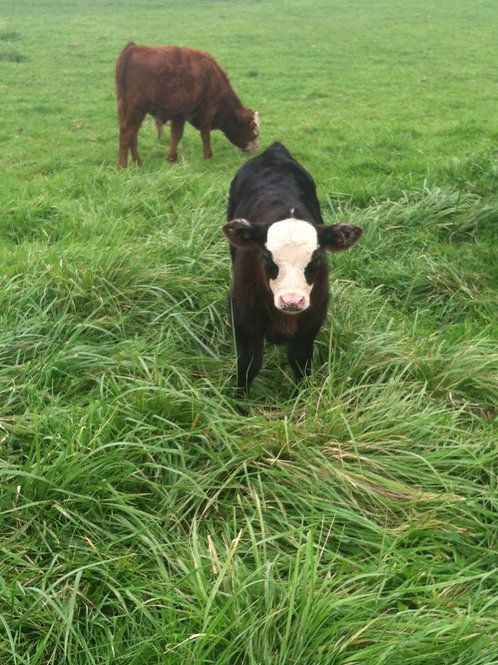 Pecan's Bull Calf 2018