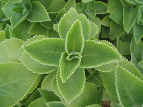 281-Bulk Oregano Leaf, Mediterranean, Organic, 1lb