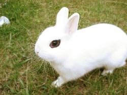conejo-hotot-blanco