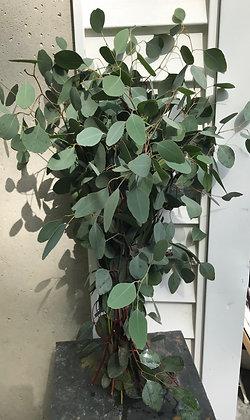 Bunch Of Eucalyptus
