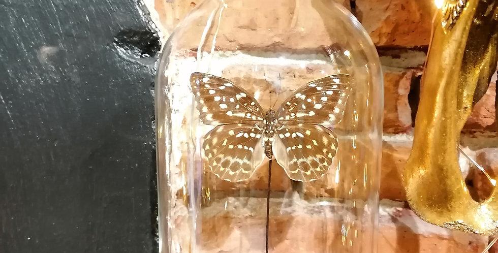 Papillons naturalisé