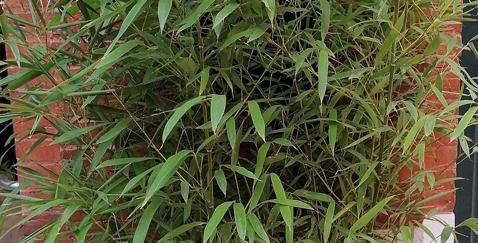 Bambou xl