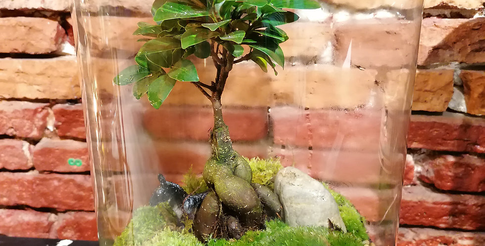 Ficus et son âne