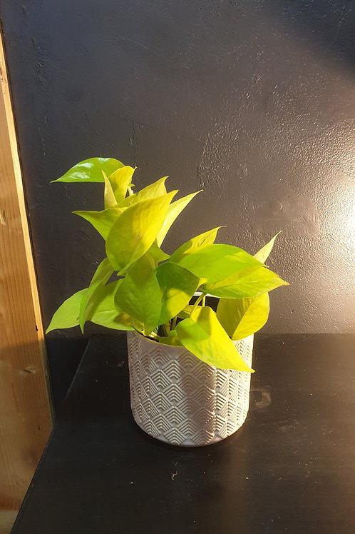 Pothos Lemon