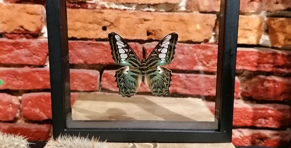 Papillon the clipper vert