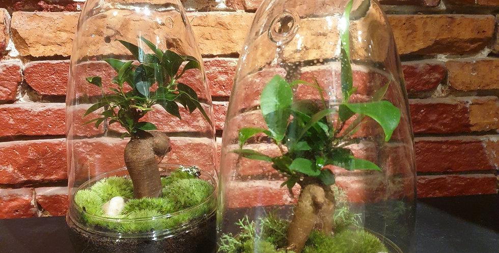 Petit terrarium Ficus