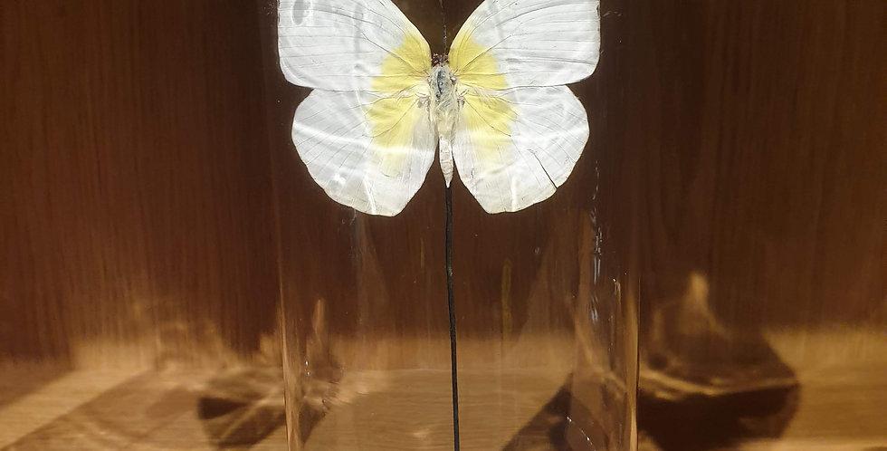 Petite cloche papillon