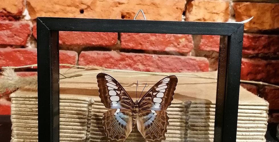Papillon the clipper
