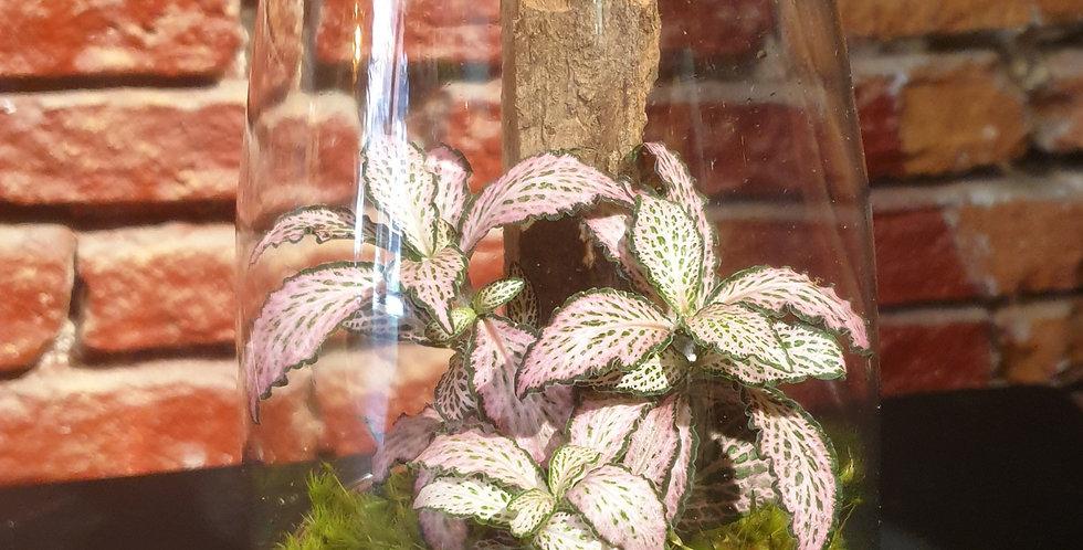 Petit terrarium Fittonia