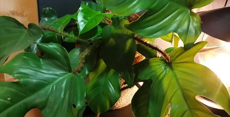 Philodendron poilu