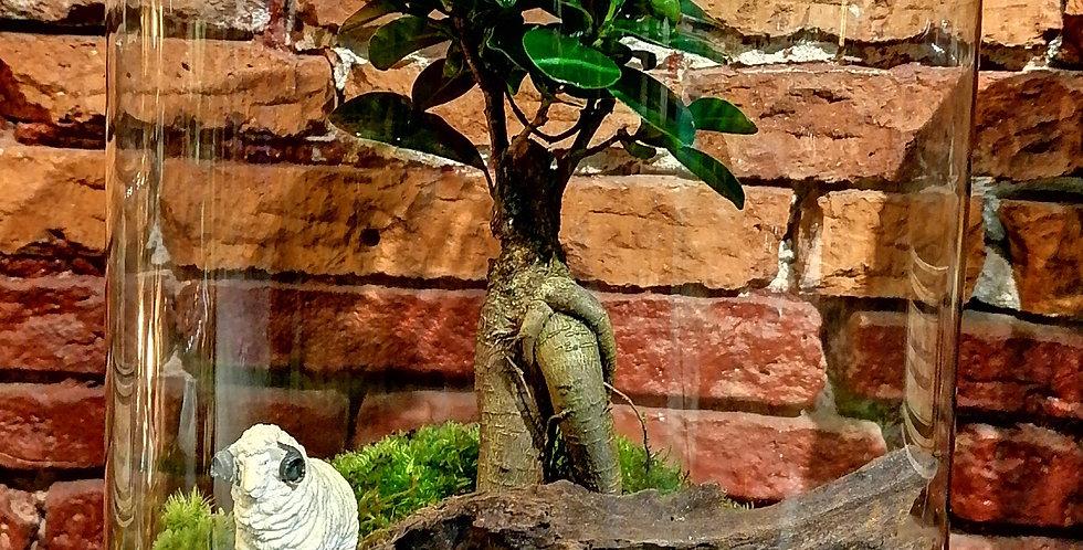 Ficus et bélier