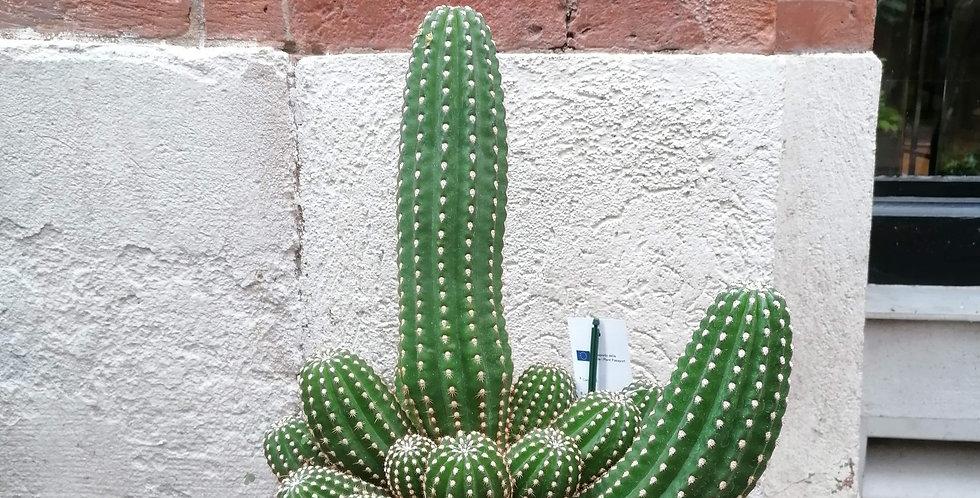 Gros cactus d'extérieur