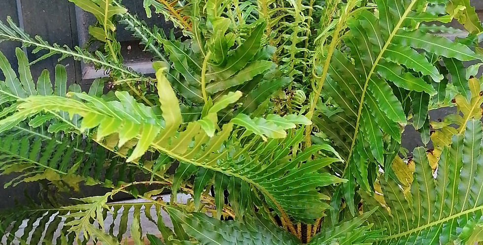 Fougère tropicale xl