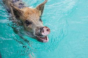 Spanish Wells – Swimming Pigs.jpg