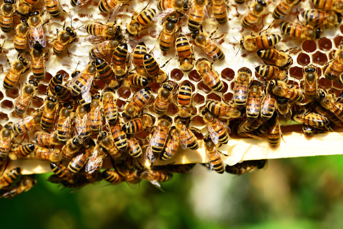honeycomb-insect-bees-honey-53444.jpg