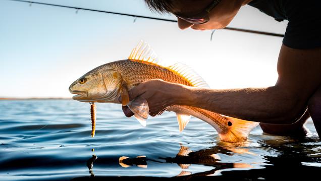 Sun Soaked Redfish