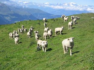 Schafe 2.jpg