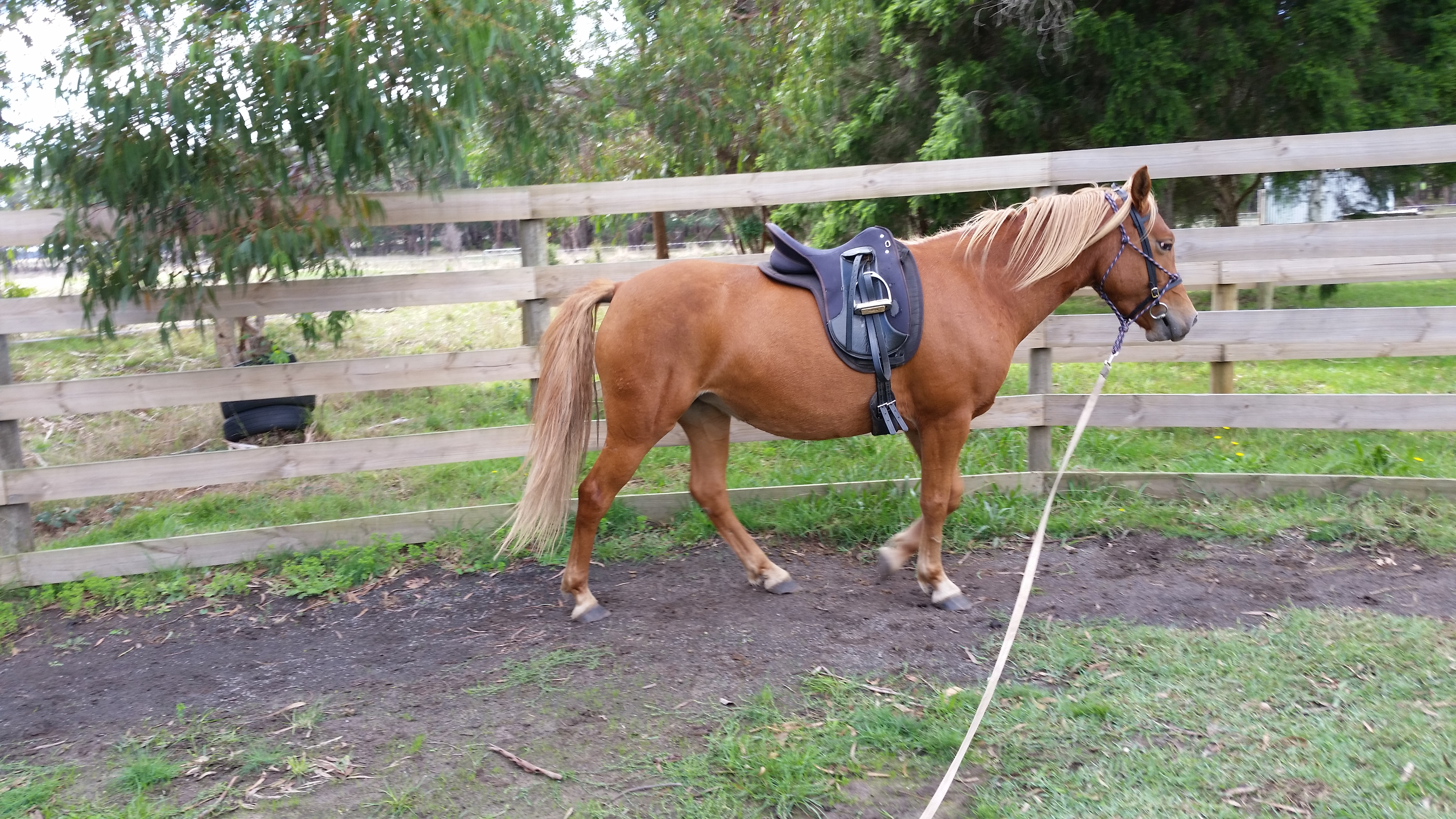 Alli - Arab x Halflinger, I have started her under saddle