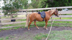 Alli - Arab x Halflinger, I have started her under saddle