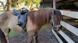 Falki - also got started under saddle